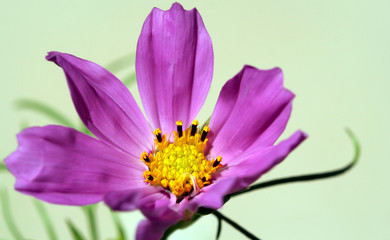 A Cosmos Flower, Leucampyx, Sunflower Family
