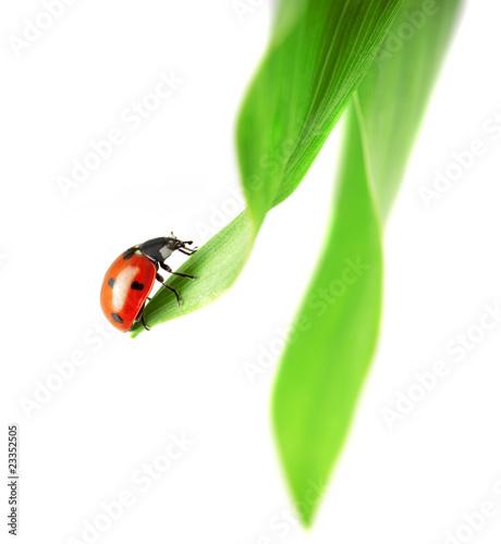 Ladybug, which sits on a green leaf