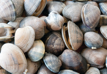 Pile of Manilla Clams