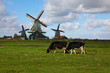 Windmills  and cows in museum village