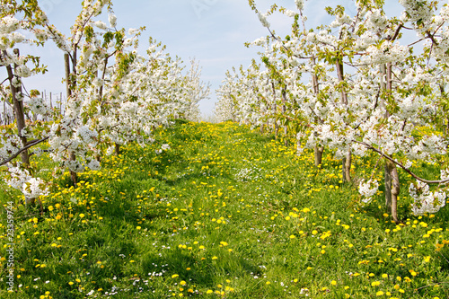 an apple orchard while blooming. sunny day
