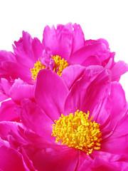 peony flowers in detail