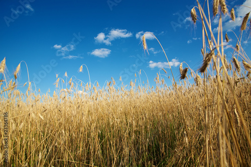 Gold wheat