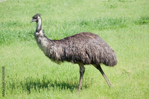 Aluminium Struisvogel Emu