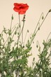 Coquelicots - Red poppy