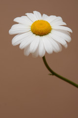 ox eye daisy single
