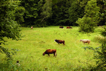 A herd of cows grazing on a lush green meadow with trees