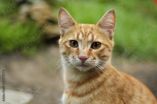 The red cat on the green nature background