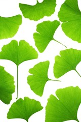 Fresh ginkgo biloba leaves