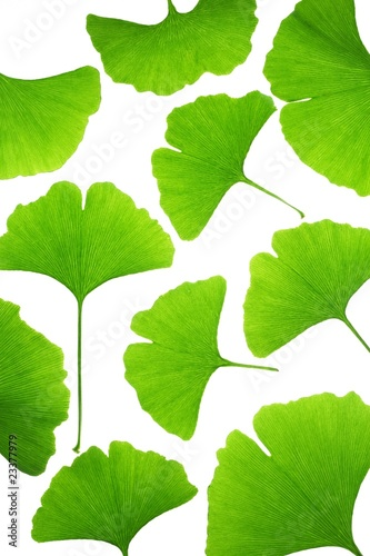 Fresh ginkgo biloba leaves © lily
