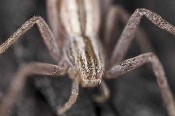 Running crab spider. Extreme close-up