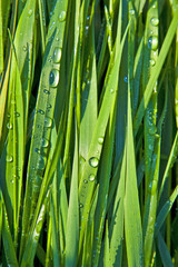 Green wheat grass with dewdrops in the morning