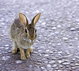 Rabbit on the road