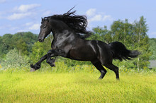 Cheval frison noir jouer sur la prairie