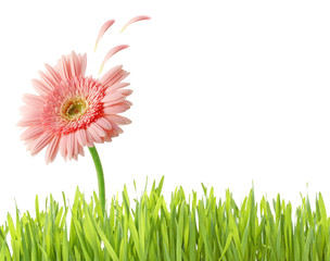 grass and flower isolated