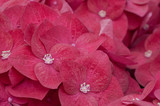 Close-up of pink hydrangea petals
