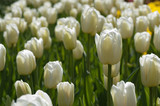 White tulip field
