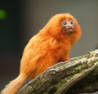golden lion tamarin baby