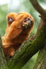 A cute golden lion tamarin mother and baby