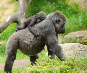 cute baby and mother gorilla