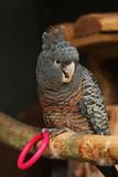 Female Gang-Gang Cockatoo Parrot poster