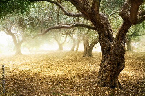 fototapete toscana old olive trees. Black Bedroom Furniture Sets. Home Design Ideas