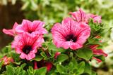 Petunia Surfinia Pink Vein poster