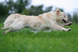 golden retriever en course de profil avec amplitude