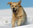 énergie du golden retriever sur la dune de sable