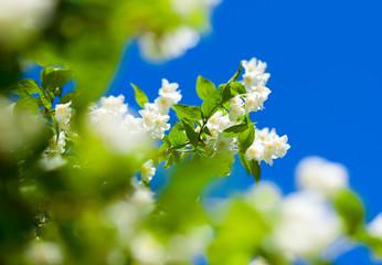 jasmine against blue sky