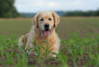 golden retriever allongé dans les champs