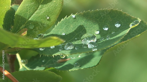 Raindrops on the leaves of a bush close up.
