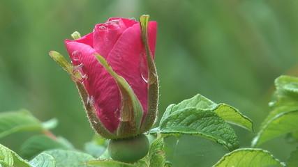 Rosebud-covered drops after a summer rain.