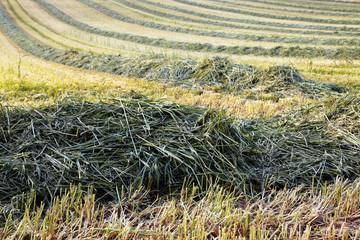 harvest of biomass energy, green rye 07
