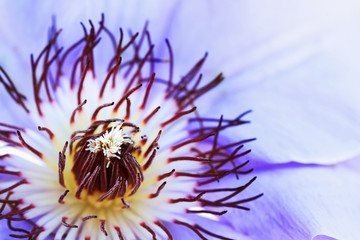 Abstract macro of a purple clematis with shallow DOF.