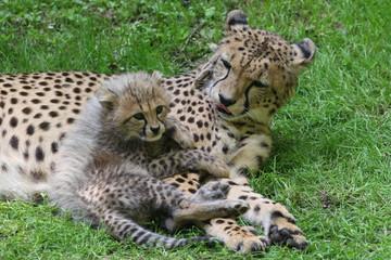 20100608 - Junge bei den Geparden im Tiergarten