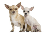 Two chihuahuas, 2 years and 7 months old