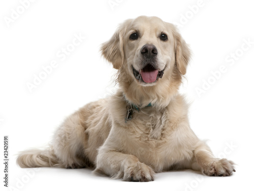 Golden Retriever, 4 years old