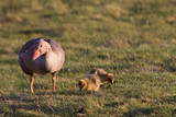 white-fronted goose with youngsters poster