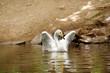 Постер, плакат: Лебедь Swan
