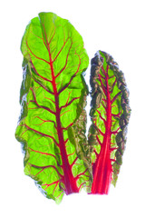 Two young, fresh red Swiss chard leaves (beta vulgaris)