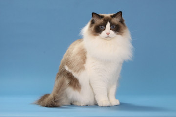 superb ragdoll