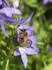 Biene sammelt Honig