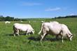 vache dans une prairie