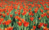 field of red tulips in the evening.