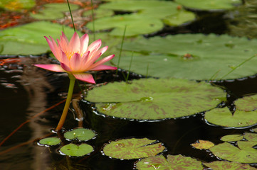 Pink Water Lily (Nymphaea alba) Surrounded by Lily Pads