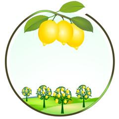Zitronen Anbau
