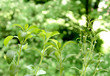 Stevia mit Blüte