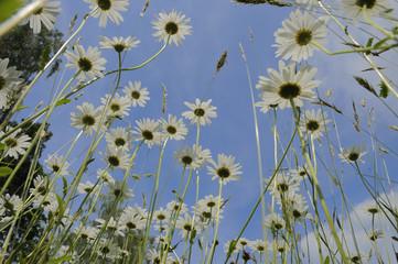 Blumen, Blumenwiese, Margeriten