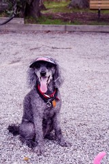 French poodle wearing hat